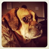 Dramatic puggle is dramatic